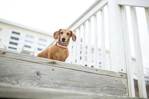 © McGraw Photography, adorable-shorthaired-dachshund