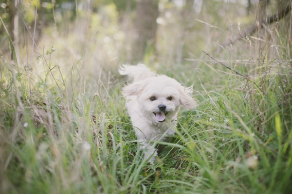 © Willow & Co,  Maltese-Shih-tzu-mixed-breed-running-in-field