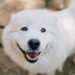 Smiling-Samoyed
