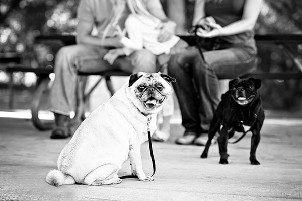 © Thomas Pitera Photography, Pugs