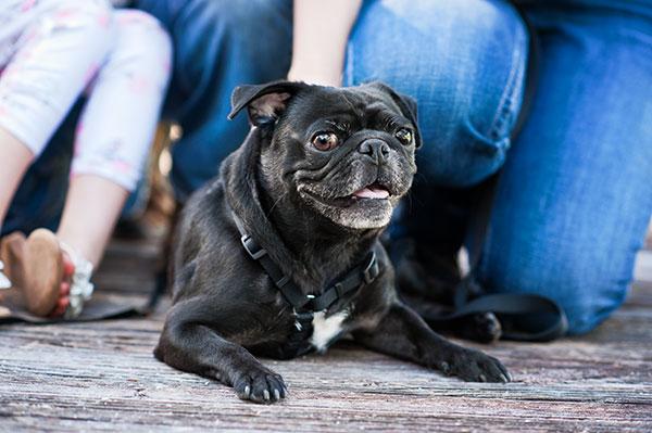 © Thomas Pitera Photography, handsome-happy-Pug
