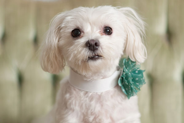 © Alice G Patterson Photography, Maltese, Syracuse Dog Photographer