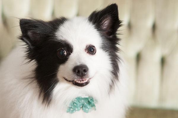 © Alice G Patterson Photography, American-Eskimo-Mix, Syracuse Dog Photographer