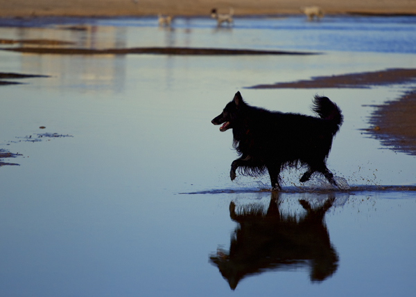 Belgian Shepherd, at the beach