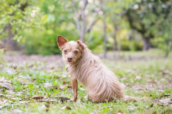 © Dana Cubbage Photography, Chihuahua-Terrier-mix-Hampton-Park