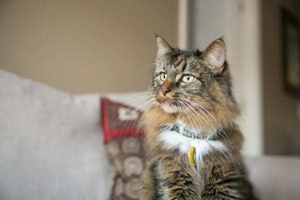 © Dana Cubbage Photography 2013, Maine-Coon-cat