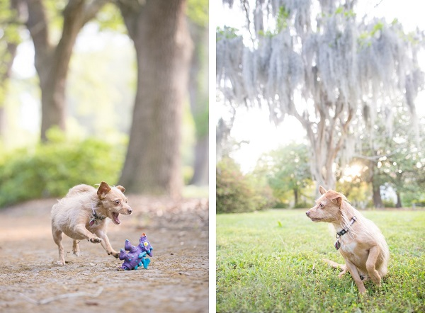 © Dana Cubbage Photography, Chihuahua-Terrier-mix
