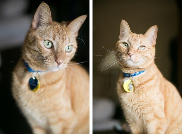 © Dana Cubbage Photography , handsome-orange-Tabby
