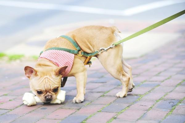 © ZADesignz Photography, French-Bulldog-with-bone