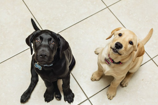 © Michael Chansley Photography, Irresistable- Labrador-puppies
