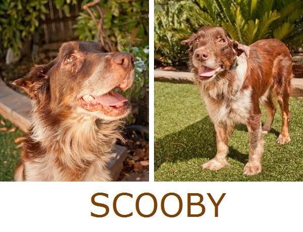 © Fetchlight, adoptable-senior-Aussie, Aussie-Rescue-San-Diego