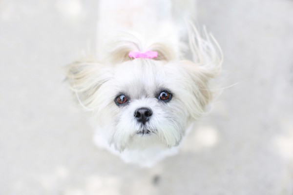 © L'Art Orange Photography, Shih-Tzu-in-pink-bow