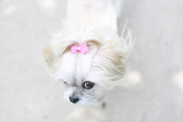© L'Art Orange Photography, Shih-Tzu-with-pink-bow