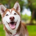 smiling-Husky