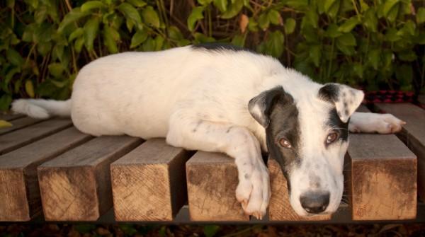 © Fetchlight, Adoptable-Blue-Heeler-from-Aussie-Rescue