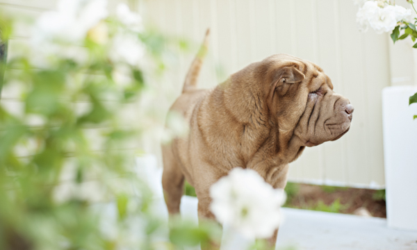 l© Kirstie M Photography, handsome-Shar-Pei