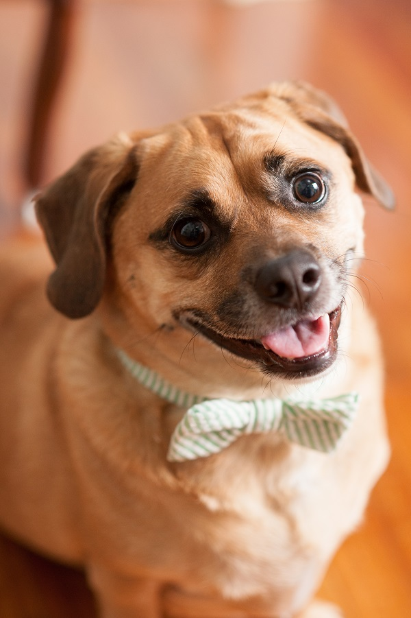 Puggle-wearing-bow-tie, lifestyle dog portrait, Daily Dog Tag
