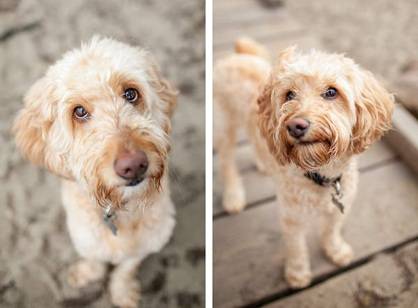 © Charlotte Reeves Photography, Labradoodles