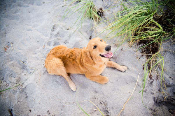 © Enduring ImpressionsPhotography, Golden-Retriever-at-beach