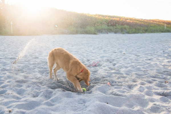 © Enduring Impressions Photography, Golden-Retriever-digging-ball