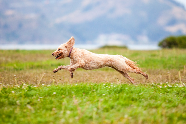 © Charlotte Reeves Photography, Labradoodle running through field