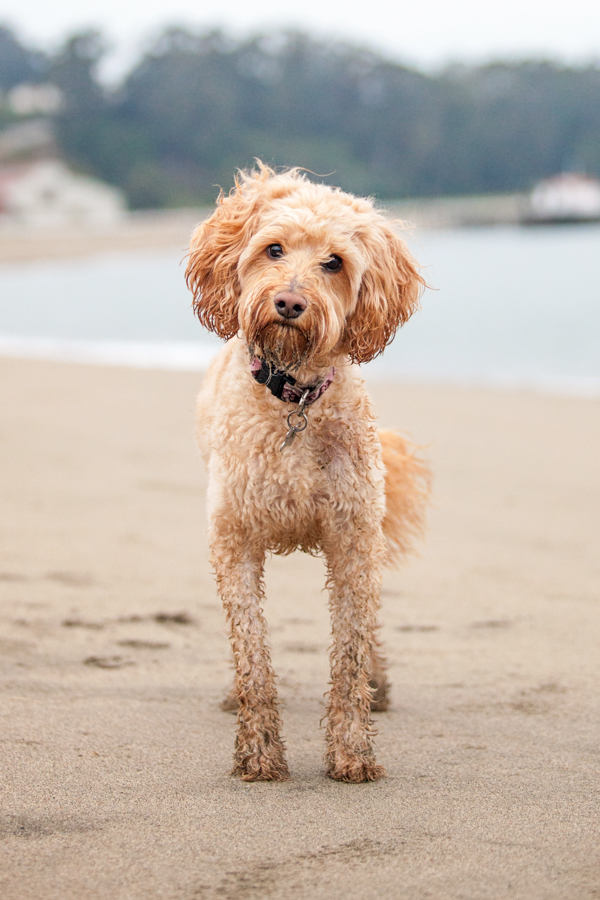 © Charlotte Reeves Photography, Labradoodle