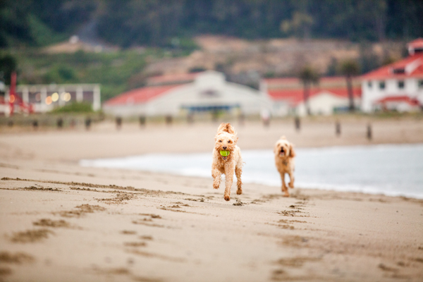 © Charlotte Reeves Photography, Dogs-running-on-beach