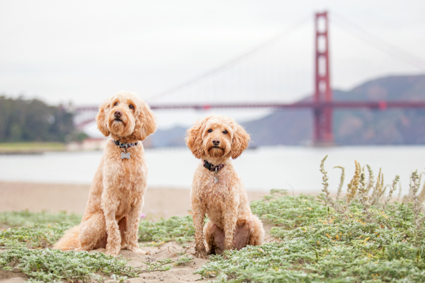 © Charlotte Reeves Photography, Labradoodles-Golden-Gate-Bridge
