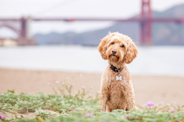 © Charlotte Reeves Photography, Labradoodle-Golden-Gate-Bridge
