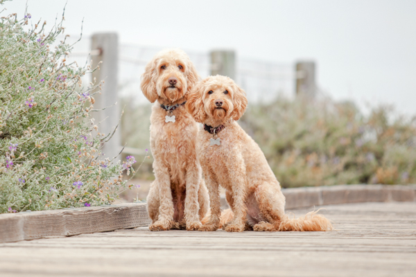 © Charlotte Reeves Photography, Labradoodles-on-boardwalk