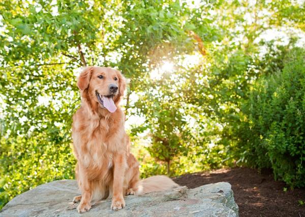 © Kathryn Schauer Photography, Golden-Retriever-at-park