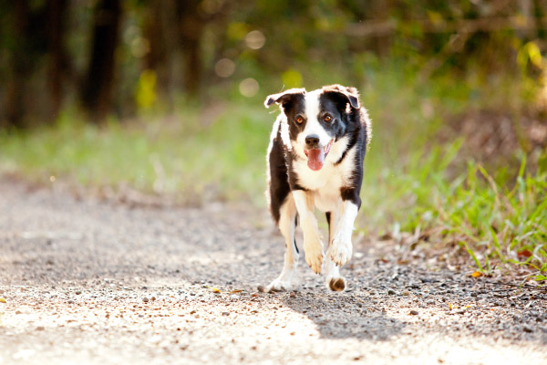 Border Collie mix running