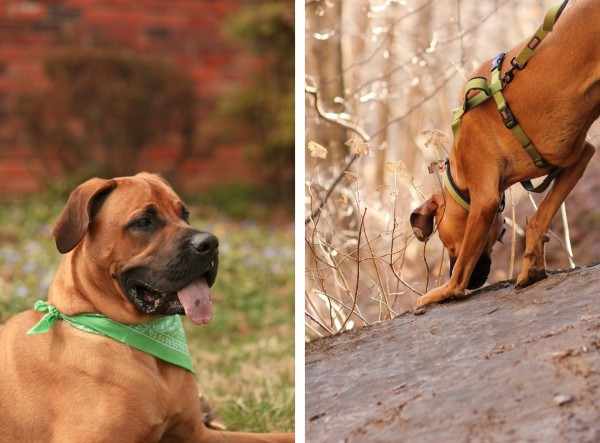 © Jessica Cochran Photography, Mastiff-wearing-a-green-bandana, Mastiff-on-rock