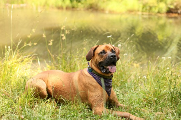 © Jessica Cochran Photography,  Mastiff