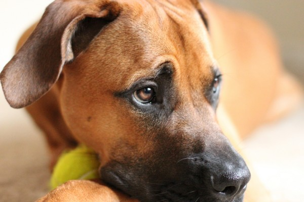 © Jessica Cochran Photography, Mastiff-and-tennis-ball