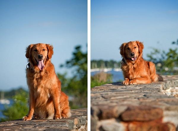 © Kathryn Schauer Photography, Golden-Retriever, CT-dog-photographer