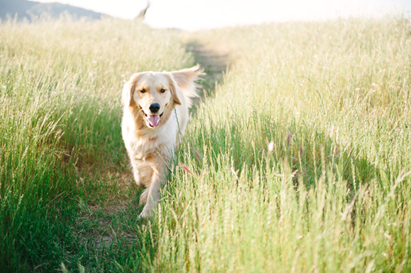 © Photo Lab Pet Photography, Golden-Retriever-field