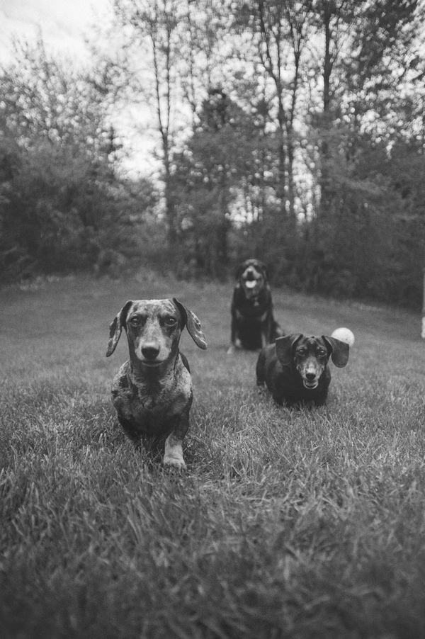 © StudioFido, 2 Doxies -and-Rottie