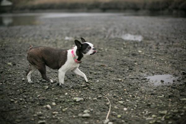 © Sarafina Photographs, Boston-Terrier