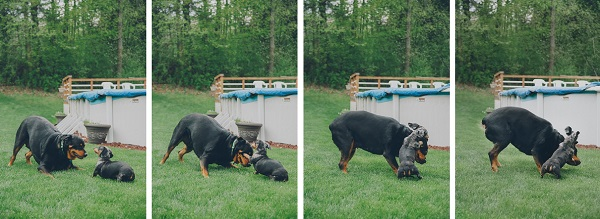 © StudioFido, Rottie-and-Doxie-playing