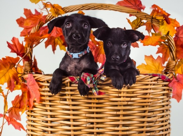 © Stacey Gammon Pet Photography, Adoptable-Lab-Mix-puppies-from-Animal-Rescue-R-Us