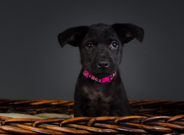 © Stacey Gammon Pet Photography, adopt-Lab-mix-puppy-Animal-Rescue-R-US, NJ