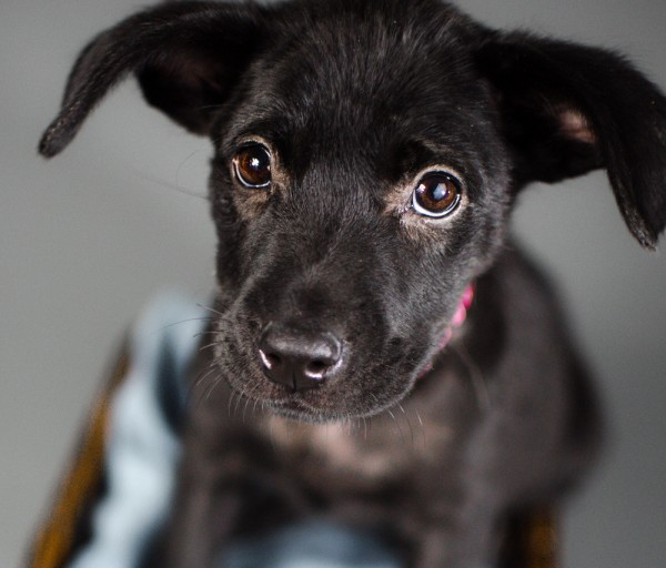 © Stacey Gammon Pet Photography, adoptable-Labrador-Retriever-Mix-puppy-Animal-Rescue-R-Us