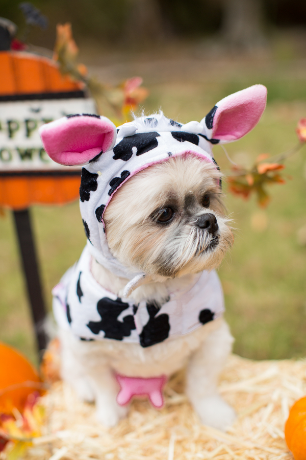 © Callie Hardman Photography, adorable-Shih-Tzu-in-cow-costume