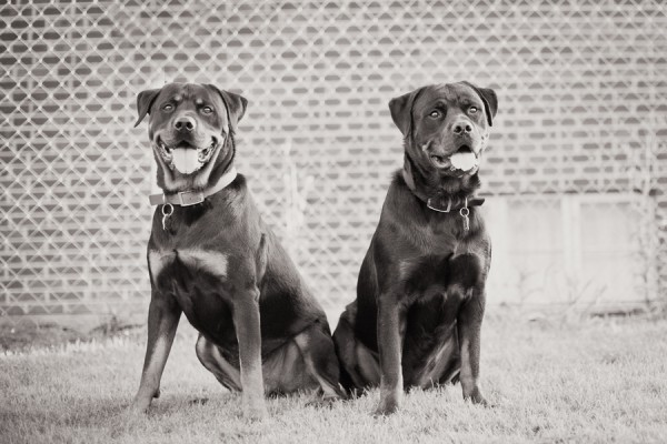 © Custom Portraits by Charlene, Handsome-Dogs   Daily Dog Tag