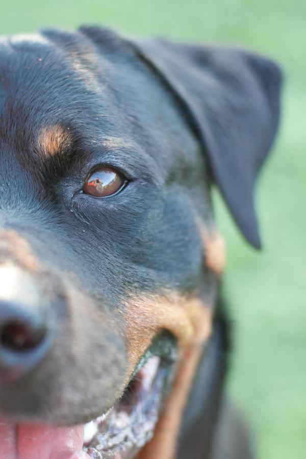 © Custom Portraits by Charlene, Happy-Rottweiler