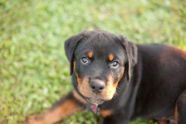 © Custom Portraits by Charlene, Rottweiler, Puppy-Pittsburgh-Pet-Photographer