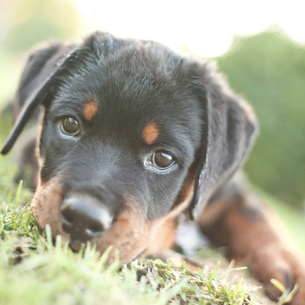 © Custom Portraits by Charlene, Rottweiler-Puppy   Daily Dog Tag