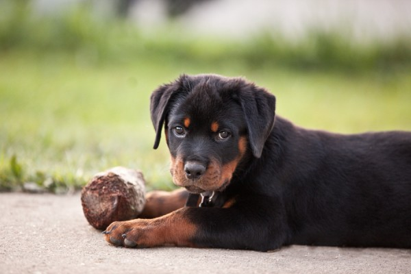© Custom Portraits by Charlene, Rottweiler-Puppy-Portrait