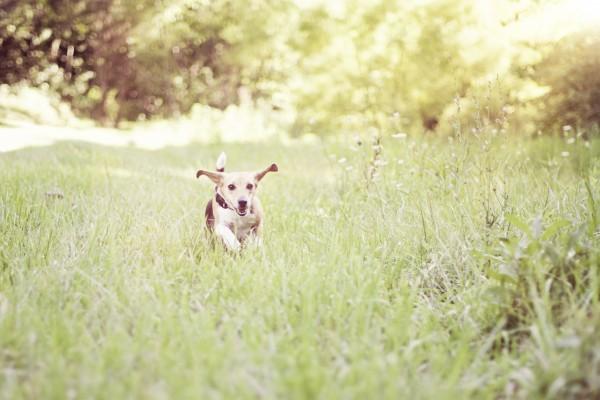 © Sweet Rocket Photography, happy-beagle-enjoying-freedom